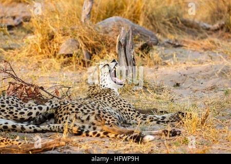 Gepard (Acinonyx Jubatus) ruhen und Gähnen, Sandibe Camp, durch das Moremi Game Reserve, Okavango Delta, Botswana, - Stockfoto