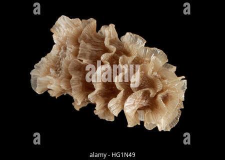 Delphinium pentagynum, Larkspur, Fünfgriffliger Rittersporn, Nahaufnahme, Samen, 3-4 mm lang - Stockfoto