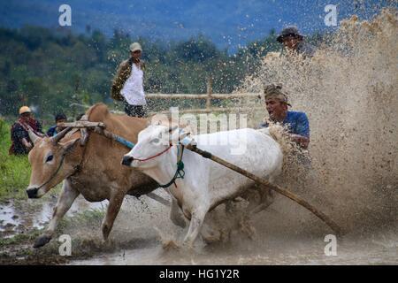 Traditionelle Bull Rennen in West-Sumatra - Stockfoto