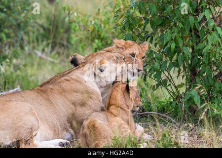Löwin ihre Jungen auf den Busch zu lecken - Stockfoto