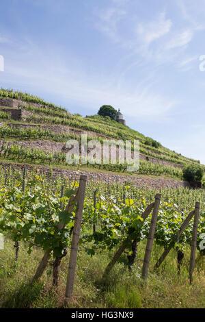 Hügel Reben auf dem Weingut Schloss Wackerbarth in Dresden, Deutschland. Das Weingut beherbergt ein Restaurant und - Stockfoto