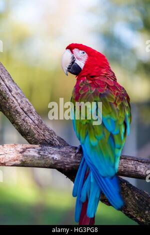 Grün-winged Ara, auch bekannt als die rot-grüne, ist ein großer, meist roten Vogel der Gattung Ara. - Stockfoto