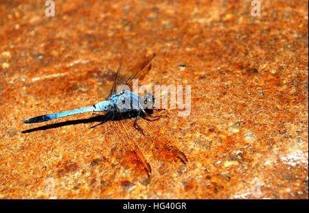 Blaue Libelle steht auf einem Felsen - Stockfoto