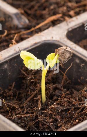 Winter gesäten Stockrose (Alcea) Sämling mit dem Saatgut-Fall noch Samen Blätter befestigt - Stockfoto