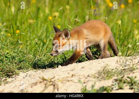 junger Fuchs gehen auf Sand in der Nähe der Höhle (Vulpes) - Stockfoto