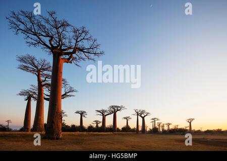 Allee de Baobab (Affenbrotbäume), bei Sonnenaufgang, Westregion - Stockfoto