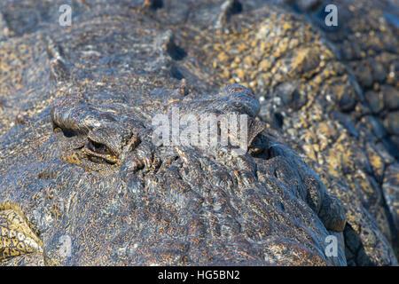 Nil-Krokodil (Crocodylus Niloticus), Chobe River, Botswana - Stockfoto