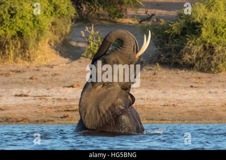 Afrikanischer Elefant (Loxodonta Africana) spielen im Fluss Chobe River, Botswana - Stockfoto