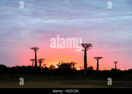 Sunrise, Allee de Baobab (Affenbrotbäume), Westregion - Stockfoto