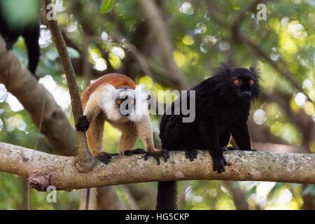 Heiligen Baobab-Baum, männliche und weibliche schwarze Lemur (Eulemur Macaco), Nosy Be Insel, Nordbereich - Stockfoto