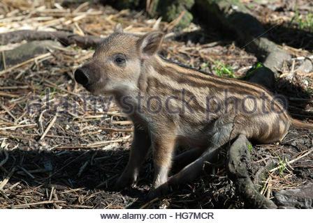 Eine europäische Wildschwein-Ferkel. - Stockfoto