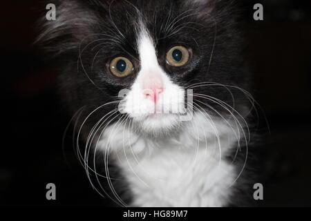 Hauskatze, die schwarz und weiß mit großen goldenen Augen.  Er hat lange weiße Schnurrhaare und das Bild ist eine Nahaufnahme seines Gesichts.  Die Katze ist niedlich.