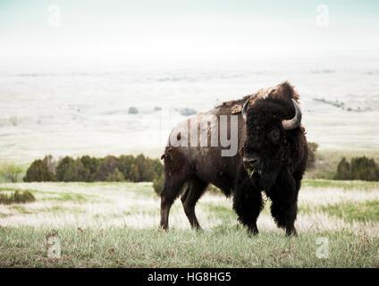 Ein Bison-Büffel kaut Rasen in einem Feld in Badlands Nationalpark, South Dakota - Stockfoto