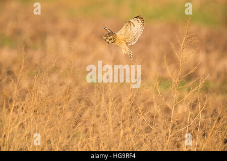 Sumpfohreule fliegen / Jagd über die bewachsene Felder - Stockfoto