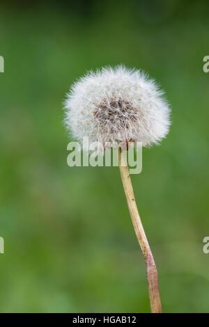 Gemeinsamen Löwenzahn (Taraxacum Sect. Ruderalia), Blütenstand - Stockfoto