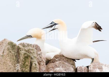 Nördlichen Basstölpel (Morus Bassanus) Erwachsenen paar, auf Felsen, große Saltee Saltee Inseln, Irland - Stockfoto