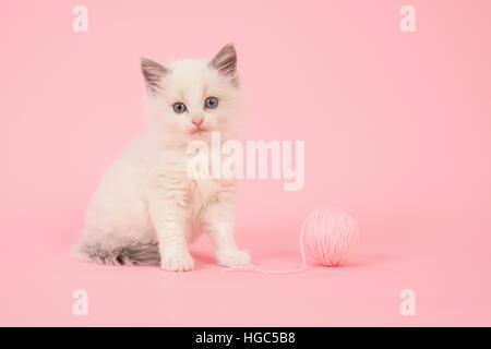 Süße Langhaar Baby Ragdoll Katze sitzend mit einem Ball aus Rosa Wolle auf einem rosa Hintergrund - Stockfoto