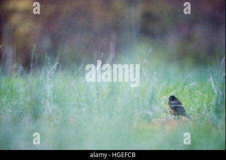 Ein American Robin steht an einem sehr regnerischen Tag in hohe Gräser. - Stockfoto