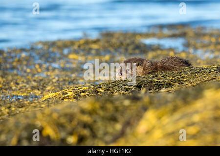 Eurasische Fischotter (Lutra Lutra) spielt auf die Algen bedeckt Felsen - Stockfoto