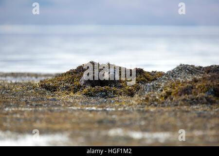 Eurasische Fischotter (Lutra Lutra) an der felsigen Küste ein Loch - Stockfoto