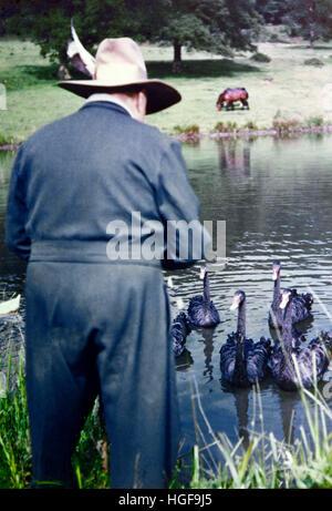 Winston Churchill fressen die schwarzen Schwäne in Chartwell, ein Geschenk von den Leuten von Western Australia - Stockfoto