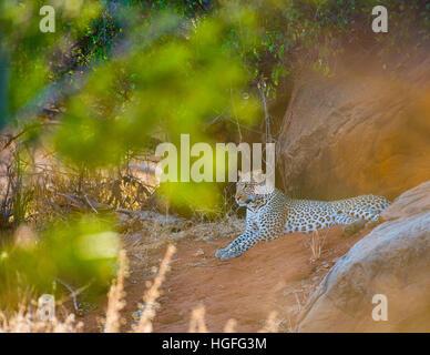 Leopard auf Felsen liegen - Stockfoto