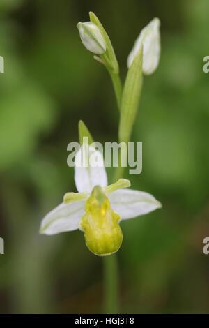 Biene Orchidee (Ophrys Apifera) Variation Chlorantha, wächst auf einer am Straßenrand Kante in Norfolk, Großbritannien - Stockfoto