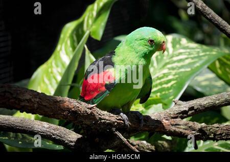 Red-winged Papagei oder Aprosmictus Erythropterus Vogel sitzend auf Ast - Stockfoto