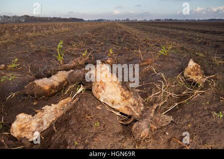 Nagte und faulen Rüben auf dem Feld links - Stockfoto