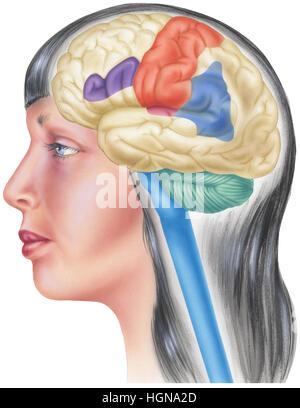 Seitenansicht des menschlichen Gehirns. Gezeigt werden die Parietal ...