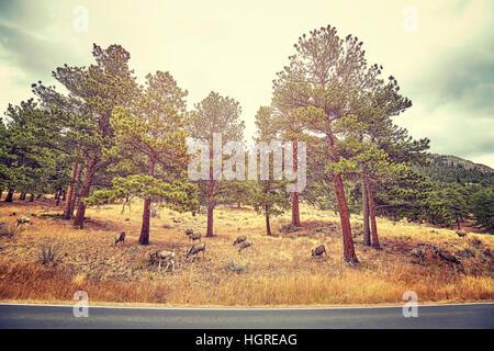 Farbe getönt Bild des Hirsches durch eine Straße in den Rocky-Mountains-Nationalpark, Colorado, USA.