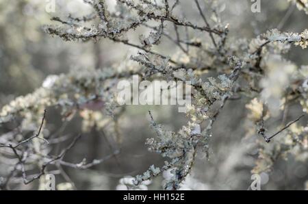 Weißen Flechten Pilz auf Zeder Äste. - Stockfoto