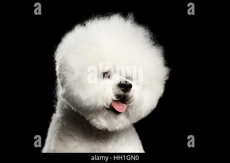 Close-up Portrait von weißen Bichon Frise Hund mit präparierten Fell wie Kugelkopf isoliert auf schwarzem Hintergrund, - Stockfoto