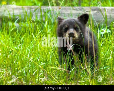Amerikanische schwarze Bärenjunge im Wald - Stockfoto