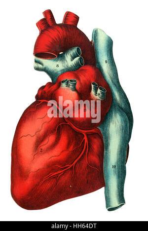 Diagramm der im inneren Herzen Abbildung Vektor Abbildung - Bild ...