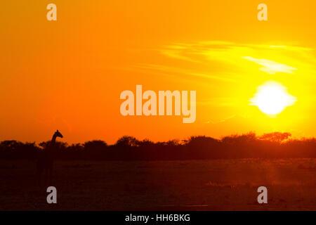 Etosha Nationalpark, Namibia. Giraffe (Giraffa Plancius) in den späten Abend Sonne. - Stockfoto
