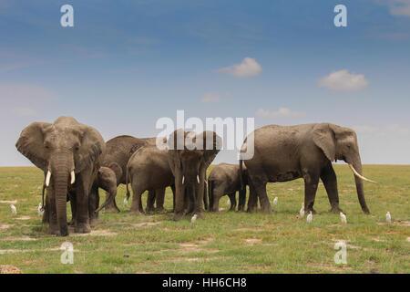 Eine Elefantenfamilie (Loxodonta Afrika) mit mehreren jungen in Amboseli Nationalpark, Kenia - Stockfoto