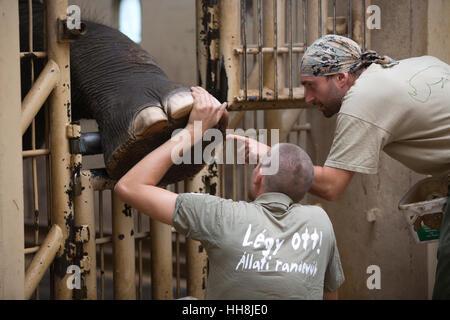 Ein Elefant mit den großen Füßen Fußvideo von einem Tierpfleger in Budapest Zoo, einer der ältesten Zoos der Welt, - Stockfoto