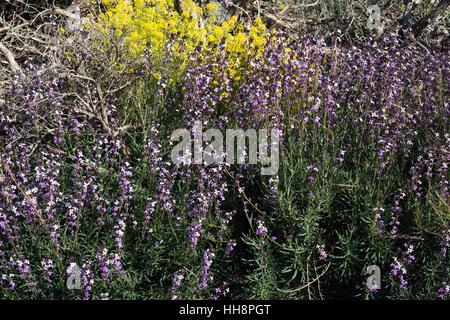 Wegrauke Scoparium (Alhelí del Teide, Teide Mauerblümchen), blühen im Frühjahr mit Yelllow Descurainia Bourgeauana - Stockfoto