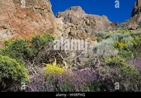 Wegrauke Scoparium (Teide Mauerblümchen), Descurainia Bourgeauana (Teneriffa Flixweed) und Adenocarpus Viscosus - Stockfoto