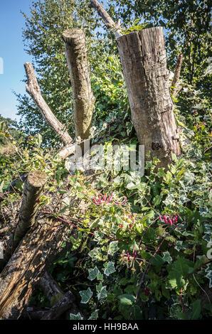 Hedera, Klettern und Wandern über überschüssige Äste und abgeschnittene Bäume - Stockfoto