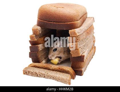 Wüstenrennmaus Maus Käse Essen im Haus von Brot Stücke isoliert auf weißem Hintergrund. Kauf von Immobilien-Konzept. - Stockfoto