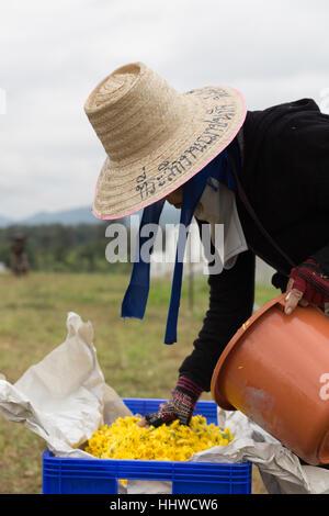Chiang Mai, Thailand - 28. November 2016: Unbekannter Bauer Ernte Chrysanthemenblüte zur Herstellung von Tee in Maejo Bauernhof in Chiang Mai, Thailand