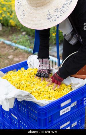 Chiang Mai, Thailand - 28. November 2016: Unbekannter Bauer Ernte Chrysanthemenblüte zur Herstellung von Tee in - Stockfoto