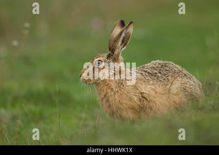 Feldhase (Lepus Europaeus) Warnung in einem Feld, Suffolk, England, Vereinigtes Königreich - Stockfoto
