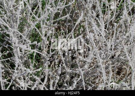 Strauch, Busch, grau, grau, Pflanze, Natur, Pflanze, Fauna, blühen, blühen, gedeihen, - Stockfoto
