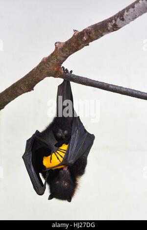 Fidschi-Flying-Fox hängen, auf einem Ast isst Mango.Bats sind die einzige einheimische Säugetiere in Fidschi-Inseln - Stockfoto
