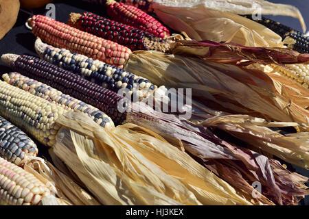 Traditionellen alten native American Indian Mais oder Flint Mais (Zea Mays var. Indurata) - Stockfoto