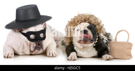 lustiger Hund paar - Englisch Bulldogs verkleidet in lustigen Mann und Frau Kostümen isoliert auf weißem Hintergrund - Stockfoto