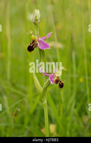 Biene Orchidee (Ophrys Apifera) wächst auf Kalkstein Grasland - Stockfoto